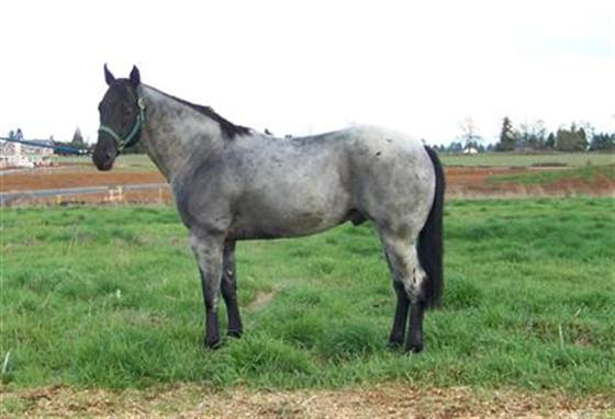 Blue Roan Quarter Horses For Sale in Texas Blue Roan Quarter Horses