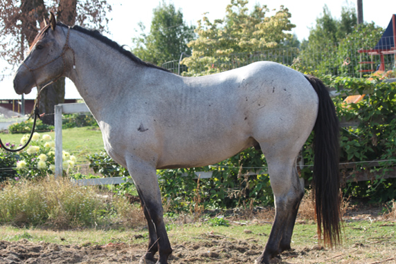 Quarter Horses For Sale In Texas With Photos Blue Roan Quart...